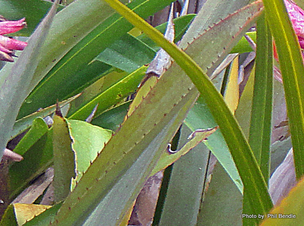1-Aechmea Distichantha-003.JPG