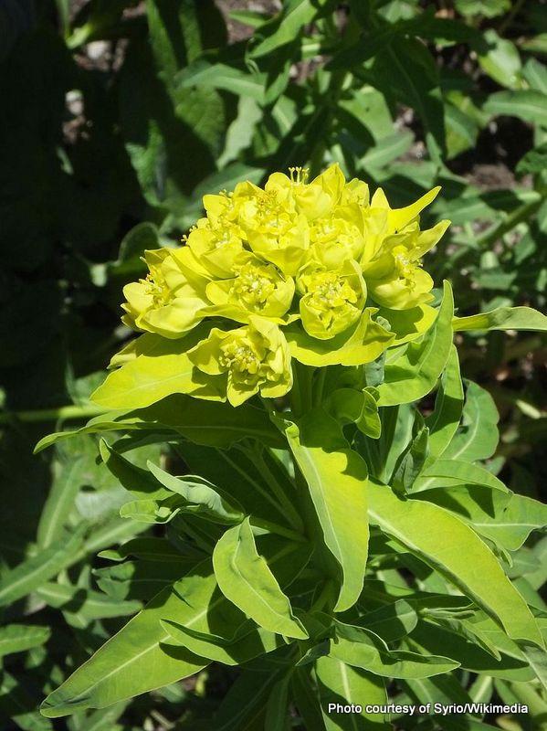 1-Euphorbia lathyris.jpg