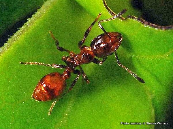 1-Monomorium antarcticum Southern ant.jpg