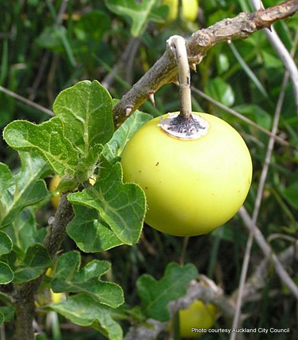 1-Solanum linnaeanum32.JPG