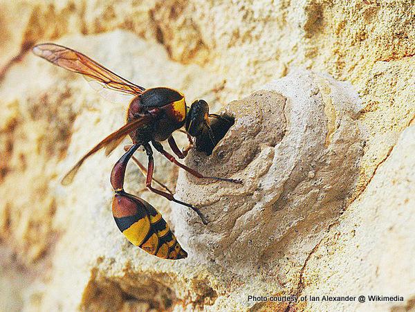 1-Wasp building mud nest .JPG