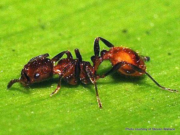 2-Monomorium antarcticum Southern ant-001.jpg