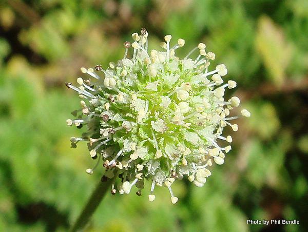 Acaena anserinifolia-004.JPG