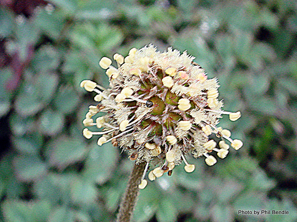 Acaena caesiglauca Glaucous Piripiri-006.JPG