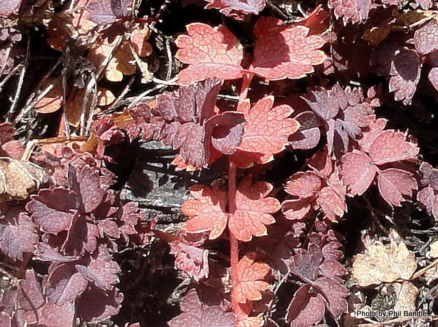 Acaena inermis Purpurea Purple bidibid-001.JPG
