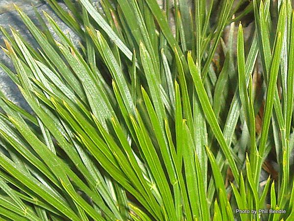 Aciphylla dissecta Tararua speargrass.JPG