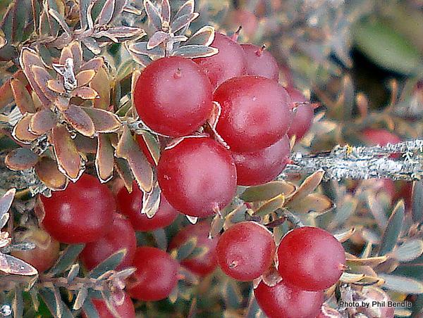 Acrothamnus colensoi Colensos Mingimingi -005.JPG