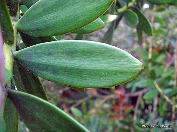 Agathis robusta Queensland Kauri -004.JPG