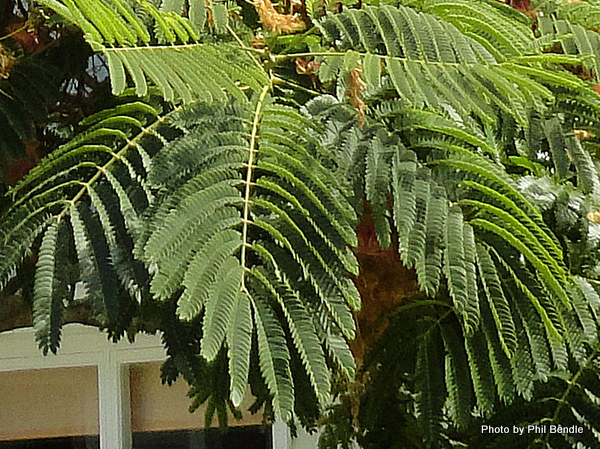 Albizzia julibrissin Persian Silk Tree.JPG