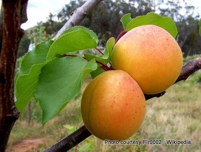 Apricots-002.jpg