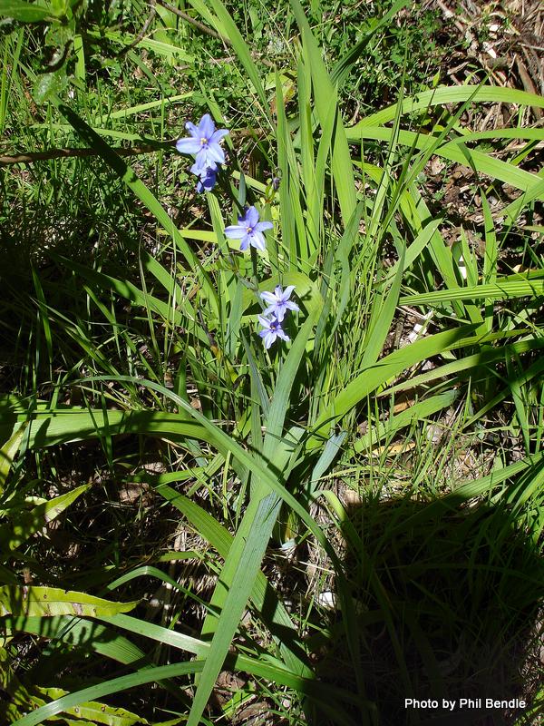 Aristea Wild iris Aristea ecklonii-20.JPG
