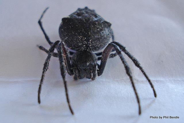 Black orb spider Family Araneidae-5.JPG