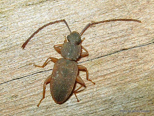 Brontopriscus pleuralis Flat Bark Beetle-001.jpg
