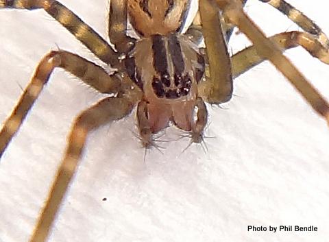 Cambridgea fasciata-004.JPG