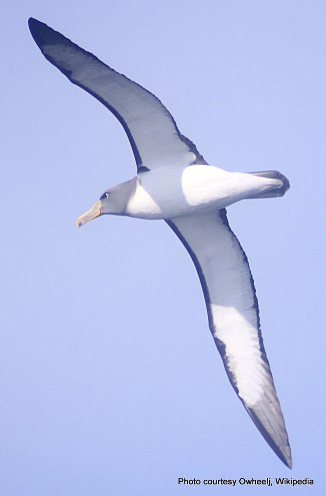 Chatham Albatross by Owheelj-001.jpg