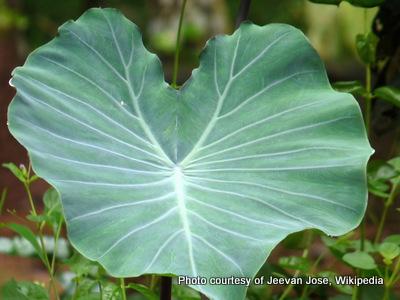 Colocasia esculenta -001.jpg