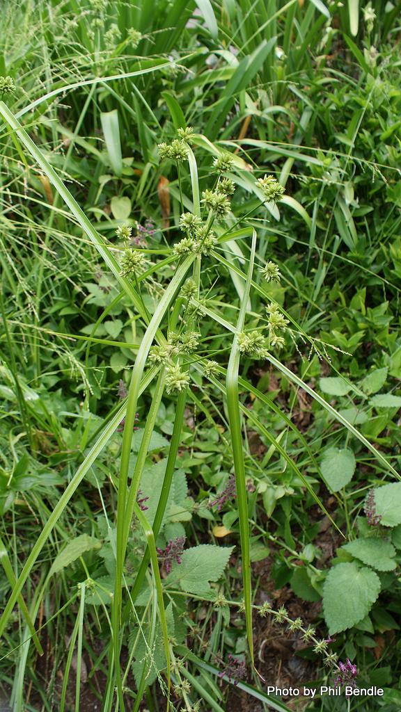 Cyperus eragrostis Umbrella sedge 3 .JPG