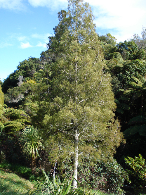 Dacrycarpus dacrydioides kahikatea sm.jpg
