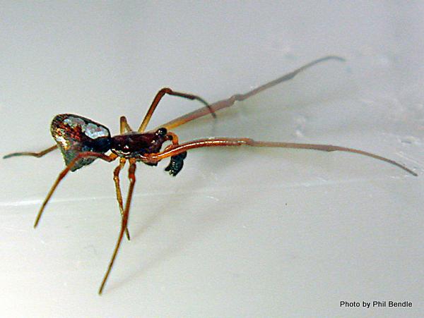 Dew drop spider Argyrodes antipodianus -001.JPG