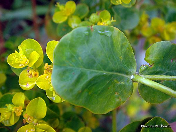 Euphorbia unkown Spurge-002.JPG