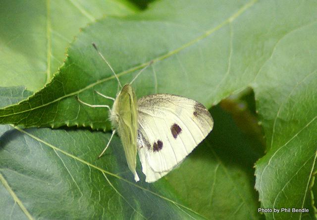 Female Pieris rapae Cabbage butterfly-1.JPG