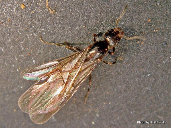 Female ant Monomorium antarcticum-002.JPG