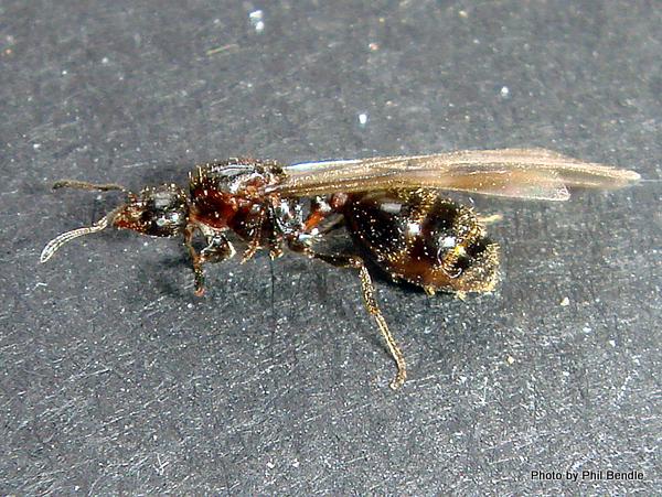 Female ant Monomorium antarcticum.JPG