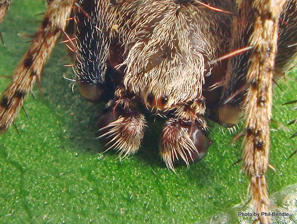 Garden Orbweb Spider Eriophora pustulosa-010.JPG