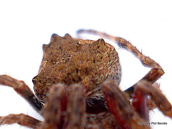 Garden Orbweb Spider Eriophora pustulosa 3.JPG