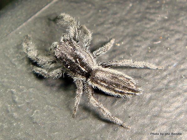 Holoplatys spp. Flatterned jumping spider.JPG