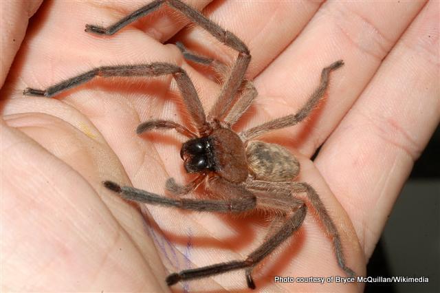 Huntsman spider Avondale spider.jpg