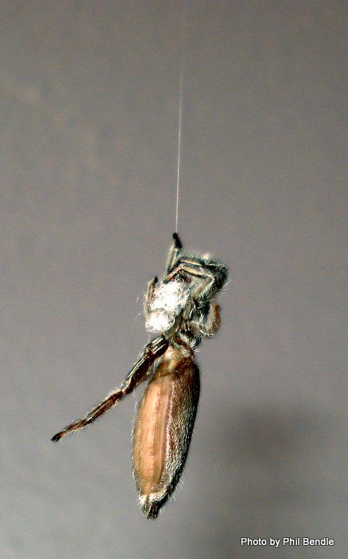 Jumping Spider climbing silk strand and gathering it.JPG