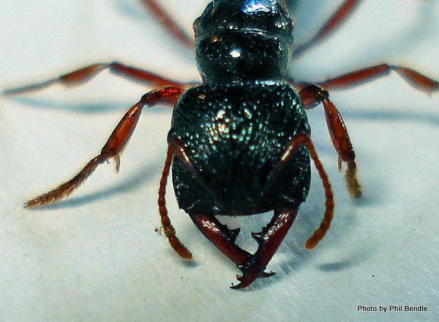 Large Native Ant Amblyopone australis-5.JPG