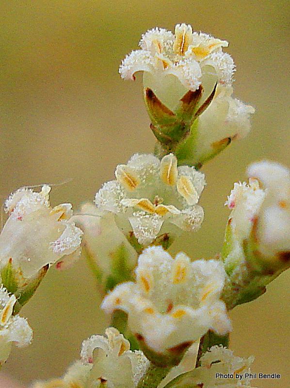 Leucopogon fasciculus -001.JPG