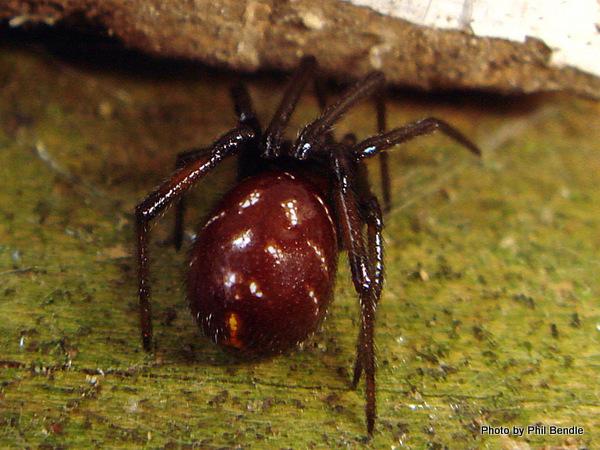 Male Steatoda capensis False katipo spider.JPG