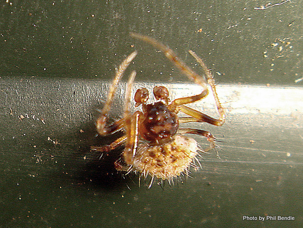 Male Two-spined Spider Poecilopachys australasia-004.JPG