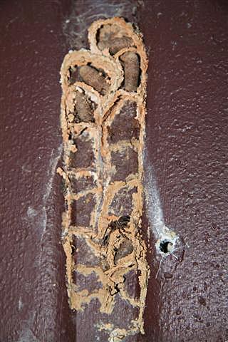Mason wasp nest.JPG