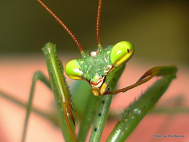 Miomantis caffra.African Praying mantis-8.JPG