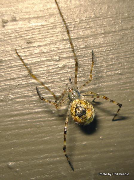 Orb Spider.JPG