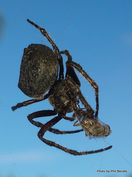 Orb spider eating a fly-1.JPG