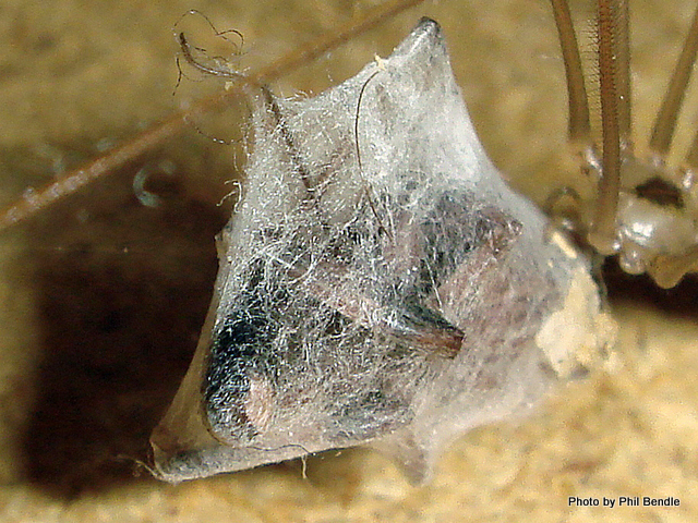 Pholcus phalangioides Daddy Long Legs spider-003.JPG
