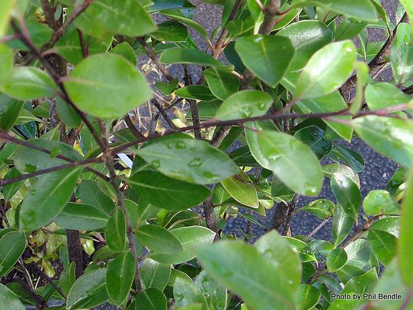 Pittosporum Emerald green.JPG