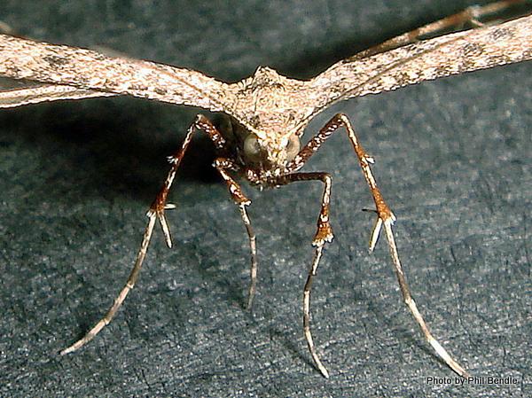 Platyptilia falcatalis Brown Plume Moth Purerehuhu-002.JPG