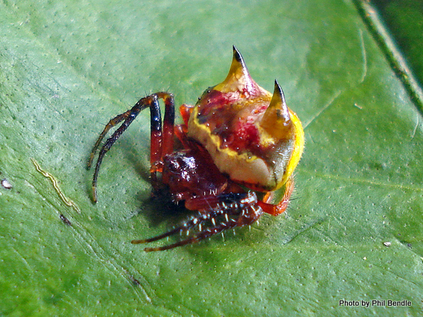 Poecilopachys australasia Two spined spider-023.JPG