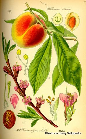 Prunus persica0-001.jpg