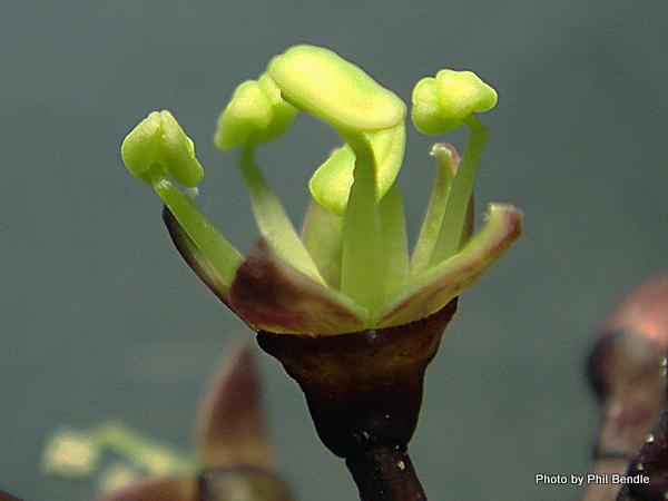 Pseudopanax arboreus Five finger-003.JPG
