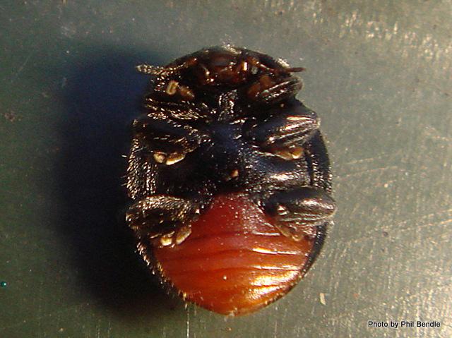 Puffball Beetles Caenocara -001.JPG