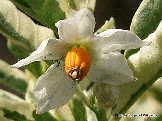 Solanum pseudocapsicum3.jpg