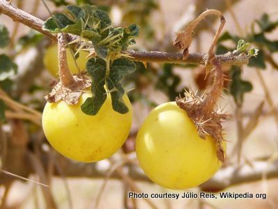 Solanumsodomeum ripe fruit-001.jpg