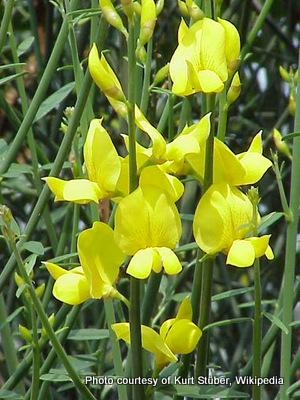 Spartium unceum-001.jpg